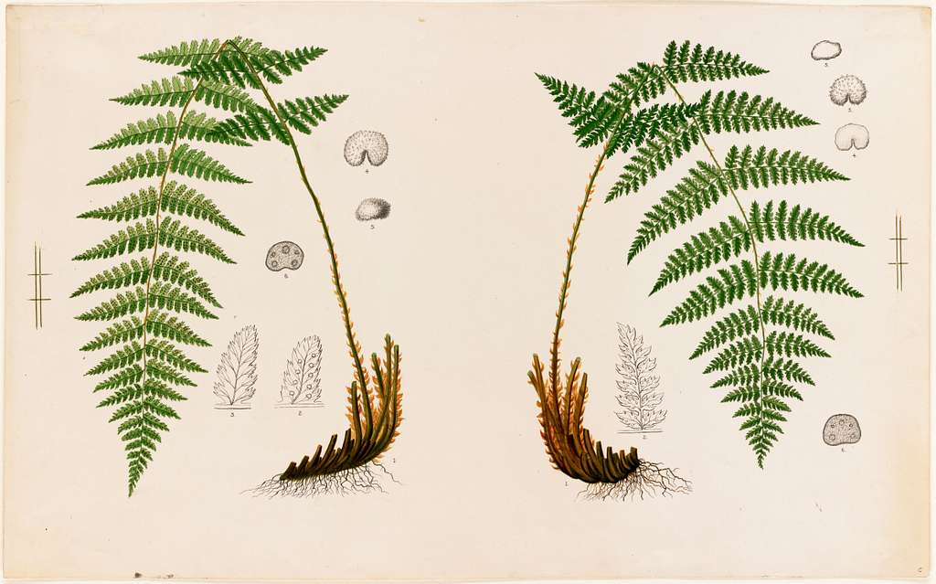 Fern Specimens